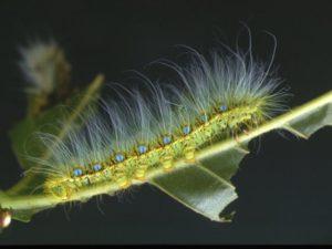クスサン幼虫